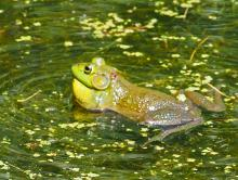 An American bullfrog at Mass Audubon's Broadmoor Wildlife Sanctuary in Natick, photographed by Joan Chasan.