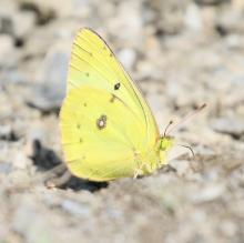 A clouded sulphur butterfly at Great Meadows National Wildlife Refuge, photographed by Steve Forman.