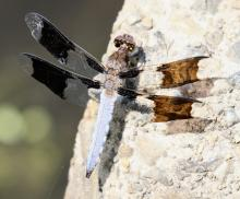 A common whitetail dragonfly at Great Meadows National Wildlife Refuge, photographed by Steve Forman.