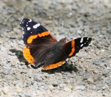 A red admiral butterfly at Great Meadows National Wildlife Refuge, photographed by Steve Forman.