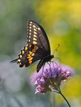 A black swallowtail at Tower Hill Botanic Garden in Boylston, photographed by Joan Chasan.