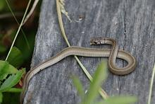A brown snake at SVT's Memorial Forest in Sudbury, photographed by Craig Smith.