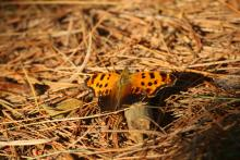 An eastern comma at SVT's Memorial Forest in Sudbury, photographed by Craig Smith.
