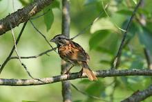 A song sparrow at SVT's Memorial Forest in Sudbury, photographed by Craig Smith.