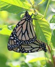 Monarch butterflies mating near Farm Pond in Framingham, photographed by Steve Forman.