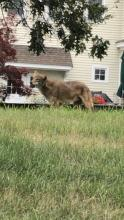 A coyote in Wayland, photographed by Joyce Kulhawik.