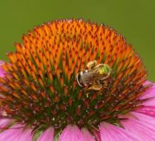 A bicolored striped-sweat bee in Lincoln, photographed by Norm Levey.
