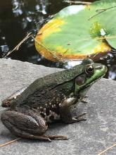 A green frog at SVT's Wolbach Farm in Sudbury, photographed by Penny Bevan.