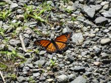 A viceroy butterfly at Assabet River National Wildlife Refuge in Sudbury, photographed by Christine Goddard.