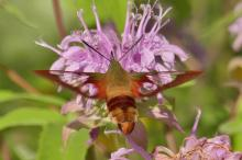 A hummingbird clearwing moth in Lincoln, photographed by Norm Levey.