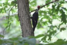 A pileated woodpecker in Maynard, photographed by Gail Sartori.