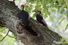 Pileated woodpeckers in Maynard, photographed by Gail Sartori.