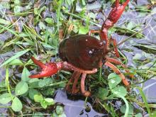A crayfish at Davis Field in Sudbury, photographed by Nancy Bond.