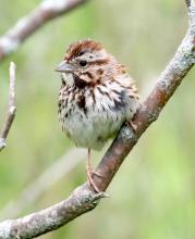 A song sparrow at Farm Pond in Framingham, photographed by Steve Forman.