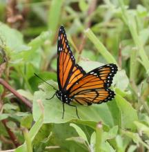 A viceroy butterfly at Breakneck Hill Conservation Land in Southborough, photographed by Steve Forman.