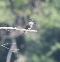A belted kingfisher at Waseeka Wildlife Management Area in Hopkinton, photographed by Steve Forman.
