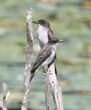 Eastern kingbirds at Waseeka Wildlife Management Area in Hopkinton, photographed by Steve Forman.