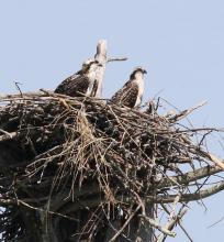 Ospreys at Waseeka Wildlife Management Area in Hopkinton, photographed by Steve Forman.