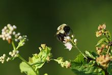 A bumble bee at SVT's Memorial Forest in Sudbury, photographed by Craig Smith.
