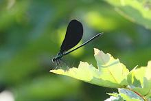 An ebony jewelwing at SVT's Memorial Forest in Sudbury, photographed by Craig Smith.