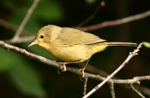 A common yellowthroat at Assabet River National Wildlife Refuge in Sudbury, photographed by Dan Trippe.