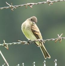 An eastern phoebe at Assabet River National Wildlife Refuge in Sudbury, photographed by Dan Trippe.