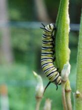 A monarch caterpillar in Northborough, photographed by Marnie Frankian.