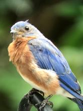 An eastern bluebird in Berlin, photographed by Al Collinson.