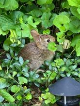 A cotton-tailed rabbit in Wayland, photographed by Margo Levey.
