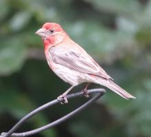A house finch in Framingham, photographed by Steve Forman.