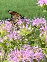 Monarch butterflies in Wayland, photographed by Margo Levey.