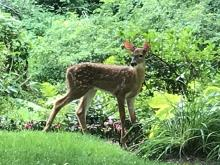 A white-tailed deer in Wayland, photographed by Margo Levey.