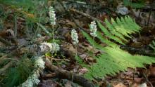Downy rattlesnake plantain at Hop Brook Conservation Land in Sudbury, photographed by Donna Difranco.