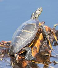 A painted turtle at Farm Pond in Framingham, photographed by Steve Forman.