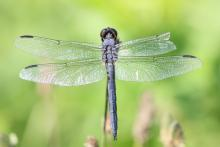 A slaty skimmer at Farm Pond in Framingham, photographed by Steve Forman.
