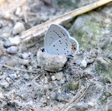 An eastern tailed-blue butterfly at Breakneck Hill Conservation Land in Southborough, photographed by Steve Forman.