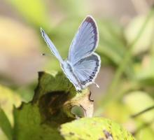 An eastern tailed-blue butterfly at Tower Hill Botanic Garden in Boylston, photographed by Steve Forman.
