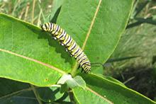 A monarch caterpillar in Concord, photographed by Marilyn Hatch.