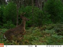 A white-tailed deer at SVT's General Federation of Women's Clubs of Massachusetts Memorial Forest in Sudbury, photographed with an automatically triggered wildlife camera by Craig Smith.