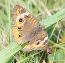 A common buckeye at Farm Pond in Framingham, photographed by Steve Forman.