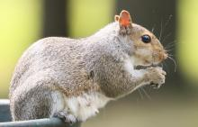 A gray squirrel at Farm Pond in Framingham, photographed by Steve Forman.