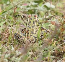 A northern leopard frog at Great Meadows National Wildlife Refuge in Concord, photographed by Steve Forman.