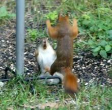 Red squirrels in Lincoln, photographed by Harold McAleer.