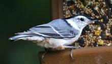 A white-breasted nuthatch in Framingham, photographed by Steve Forman.