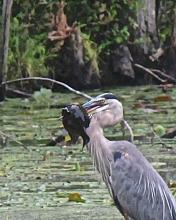 A great blue heron at Hamlen Woods in Wayland, photographed by Robert Fuhro.
