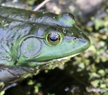 An American bullfrog at Mass Audubon's Broadmoor Wildlife Sanctuary in Natick, photographed by Steve Forman.