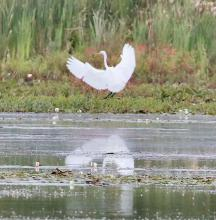 A great egret at Bartlett Pond in Northborough, photographed by Steve Forman.