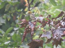 A black-throated green warbler in Stow.