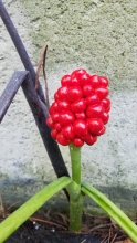 Jack-in-the-pulpit in Framingham, photographed by Bill Fadden.