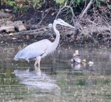 A great blue heron and a painted turtle at Farm Pond in Framingham, photographed by Steve Forman.
